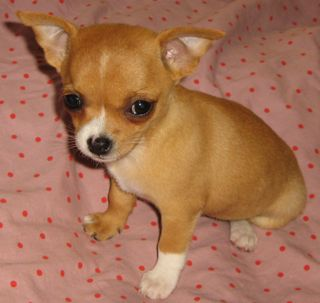 Chihuahua Coats & Colours